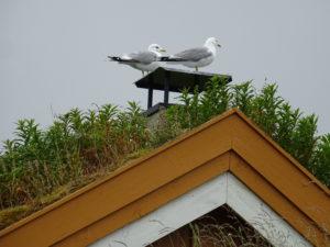 Måker på taket